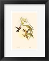Framed Small Gould Hummingbird IV