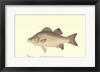 Framed White Bass