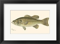 Framed Large-mouthed Black Bass