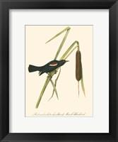 Audubon's Blackbird Framed Print