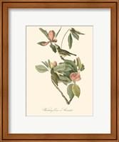 Framed Audubon's Vireo