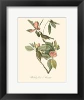 Audubon's Vireo Framed Print