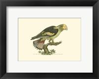 Framed Black-winged Parrakeet