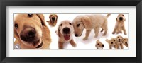 Framed Dogs - Golden Retrievers