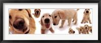 Framed Dogs - Golden Retrievers