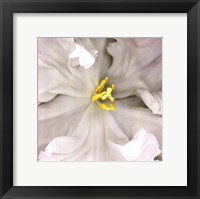 Framed White Parrot Tulip