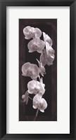 Framed Orchid Opulence I