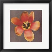 Sunshine Tulip Framed Print