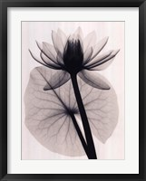 Framed Tropical Water Lily