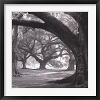 Oak Alley, West Row Framed Print