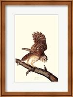 Framed Barrew Owl