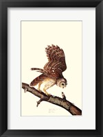 Framed Barrew Owl