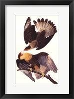 Framed Crested Caracara