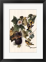 Framed Northern Oriole