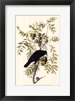 Framed American Crow