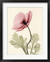 Framed Iceland Poppy II