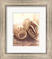 Framed Seashore Achatina