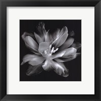 Framed Radiant Tulip III