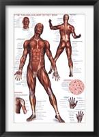 Framed Muscular System