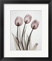 Framed Tulipa One