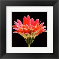 Framed Pink Gerbera III