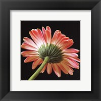 Framed Pink Gerbera IV