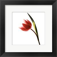 Framed Tulip Impressions I