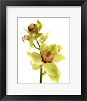 Framed Pale Orchid