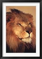Framed Lion Close Up