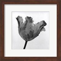 Framed Parrot Tulip I