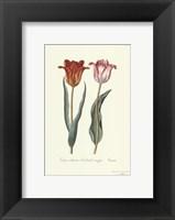 Framed Tulipa Cultivar