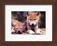 Framed Spring Wolf Pups