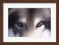 Framed Eyes of the Hunter: Gray Wolf