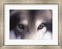 Framed Eyes of the Hunter: Gray Wolf