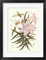 Framed Kramers Lily