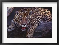 Framed Jaguar