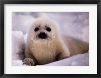 Framed Harp Seal Pup