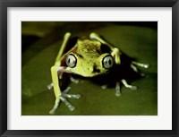 Framed Maki Frog