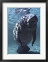 Framed West indian Manatee