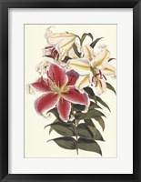 Framed Parkman's Lily