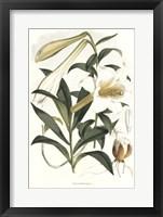 Framed Lilium Neilgherriense