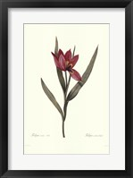 Framed Tulipa Oculis-Solis
