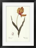 Framed Tulipa Gesneria (A)