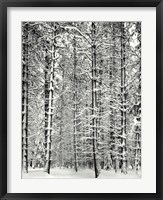Framed Pine Forest In The Snow, Yosemite Nation