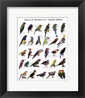 Framed Tropic Birds