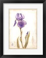 Framed Purple Iris I