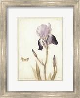 Framed Purple Iris with Beard II