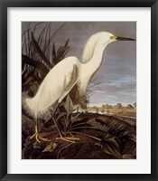 Framed Snowy Heron or White Egret