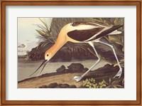 Framed American Avocet