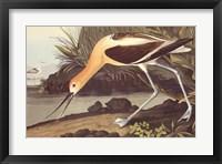 American Avocet Framed Print